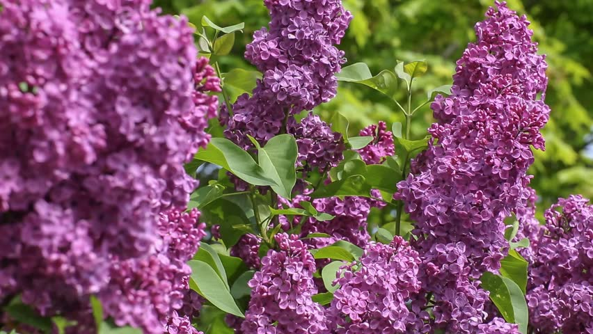 Flowering Lilac Tree In Late Stock Footage Video 100 Royalty Free