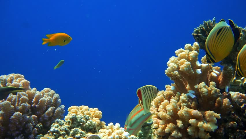 Colorful Fish on Vibrant Coral Reef, Red sea   Shutterstock HD Video #10010405