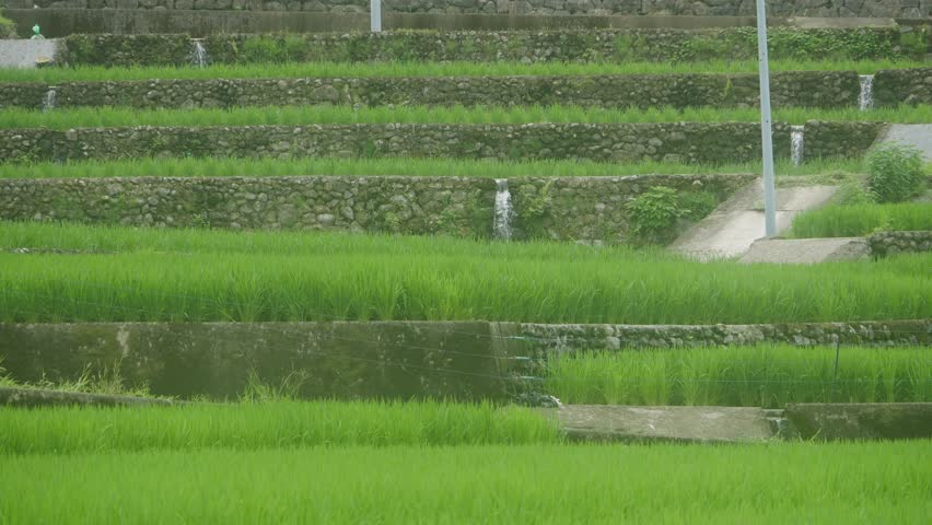 Paddy fields where seedlings are growing in rural area in the mountains in Nagasaki prefecture, JAPAN. without sounds