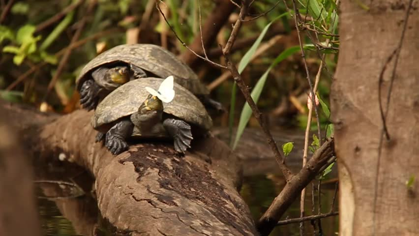 Bolivian Amazon Turtles