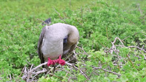 CIRCA 2010s - Red footed boobie bird up close in the Galapagos Islands.
