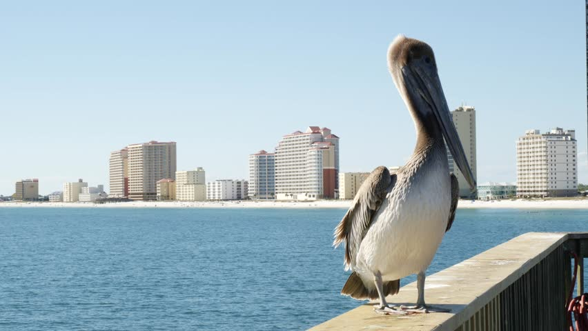 Full length close-up shot of a cute and sleepy pelican perching on the wooden railing of a pier at the seaside