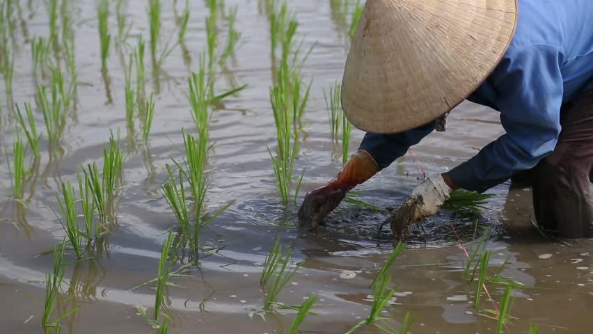 Rice fields to Asia Group of farmer working hard on rice field in Vietnam   Shutterstock HD Video #1006658995