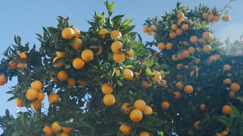 Juicy ripe oranges on the branches of an orange tree in warm sunny weather