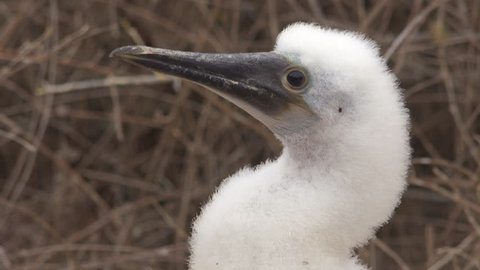 GALAPAGOS ISLANDS, ECUADOR - CIRCA 2010s - Close up of the face of a baby blue footed booby in the Galapagos Islands, Ecuador.