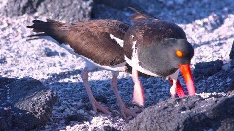 GALAPAGOS ISLANDS, ECUADOR - CIRCA 2010s - Oystercatcher birds along a rocky coastline.