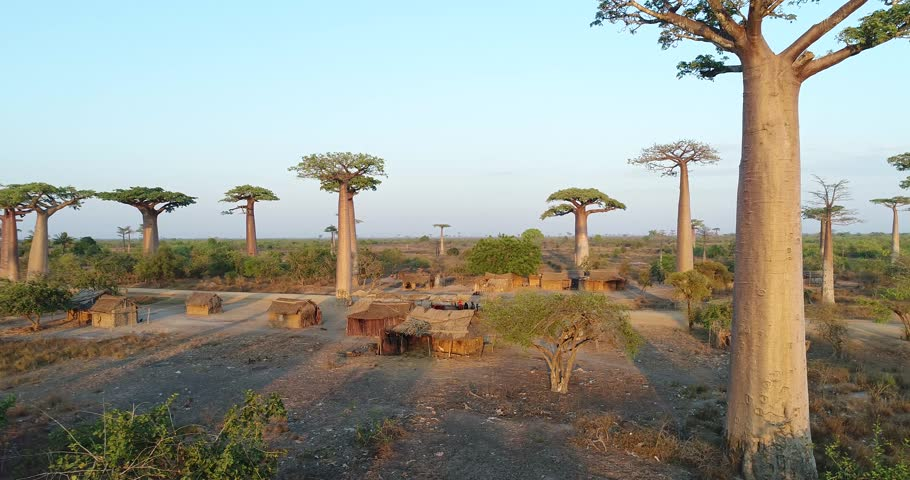 Beautiful Baobab tree in Madagascar, overhead aerial shot