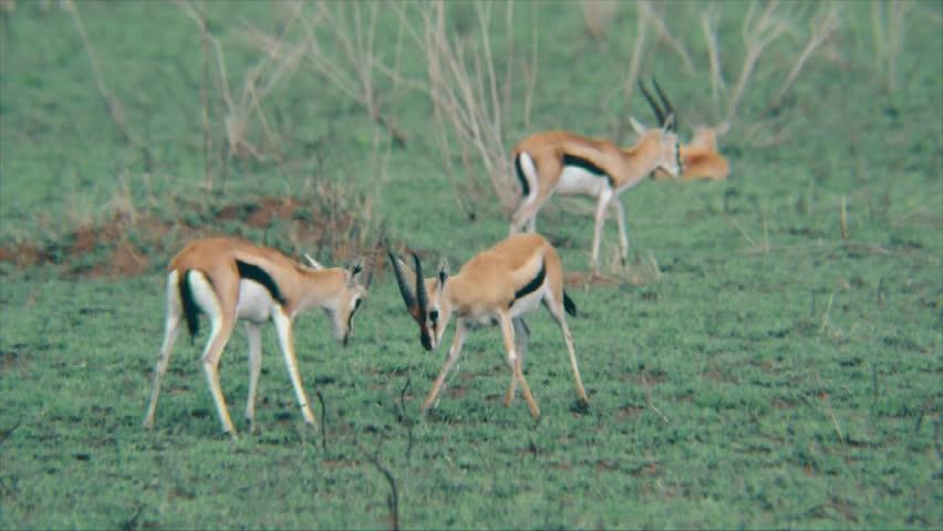 Header of springbok