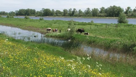 cattle grazes at the riverside of the dike.  IJSSEL, THE NETHERLANDS