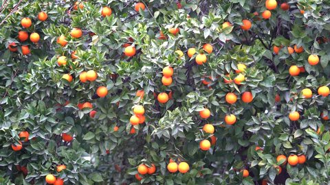 Blooming orange tree with mellow fruits. Close up