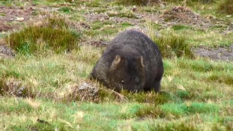 Common Wombat walk and forage on the mountain plains