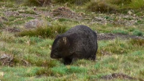 Common Wombat foraging on the mountain plains