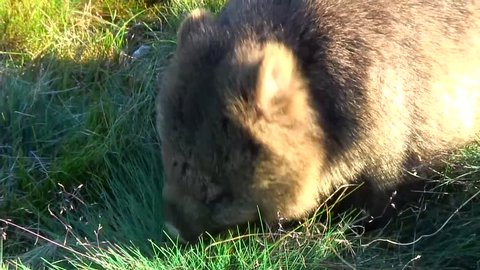 Common Wombat eat grass on the mountain plains close up