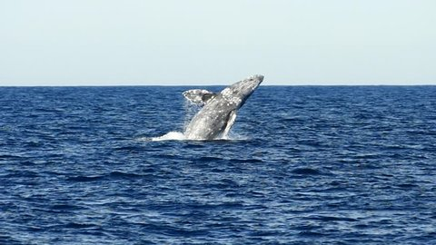 Young Humpback whale breaching in Pacific Ocean in slow motion