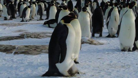 Emperor penguin with chick(aptenodytes forsteri)colony on sea ice sea Davis