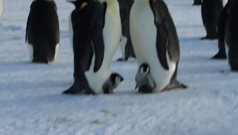 Emperor penguin with chick(aptenodytes forsteri)colony on sea ice sea Davis