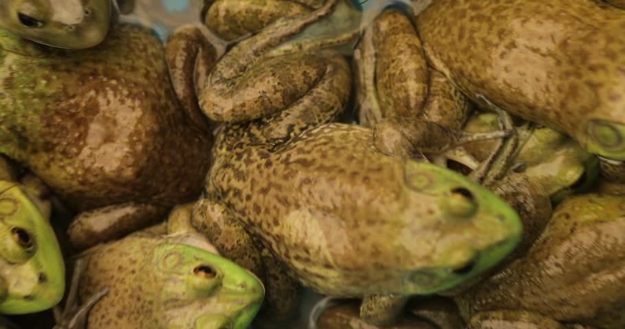 Many frogs inside water pond in 4K