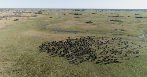 High aerial static view of a large herd of Cape buffalo walking in the Okavango Delta, Botswana