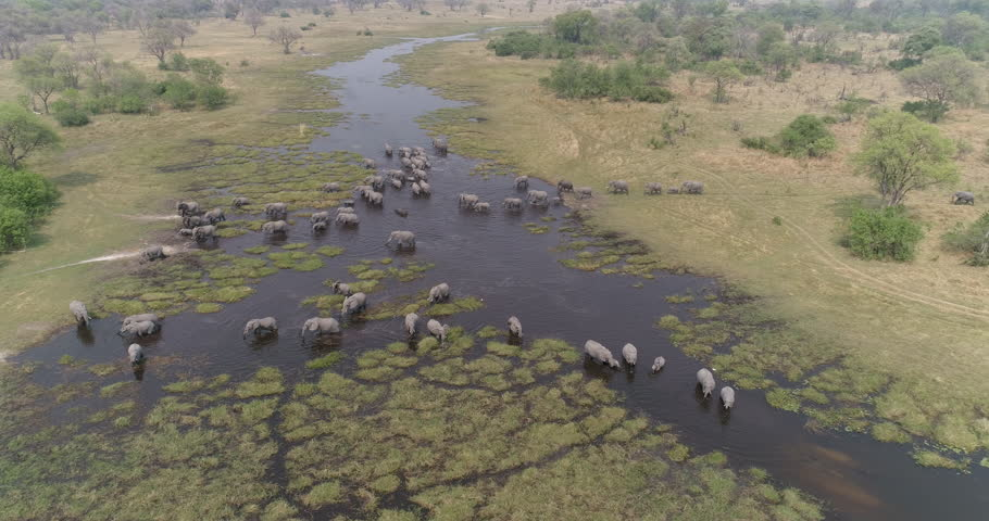 Aerial zoom out view of a breeding herd of elephants drinking and crossing a river in the Okavango Delta, Botswana | Shutterstock HD Video #1006944655
