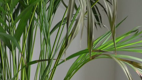 Kentia Palm leaves indoor plant blowing in a slight wind with a neutral white shadowed background.