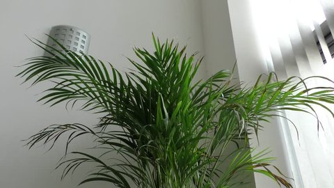 Panning shot of a kentia house plant in a contemporary apartment with light leaking through the blinds onto a neutral white wall
