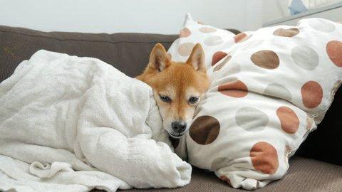 Dog relaxing on the sofa (Shiba Inu)