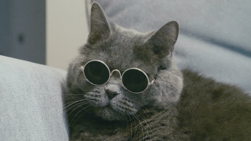 Cat in sunglasses. Cat in glasses. Close-up of cat's faces in sunglasses. Cat take off sunglasses. British cat.
