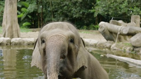 Cute young elephant bathing on the pond at the zoo. Elephants are large mammals of the family Elephantidae and the order Proboscidea.