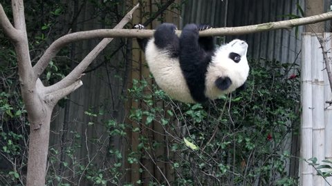 Little Panda Cub is hanging on the Tree