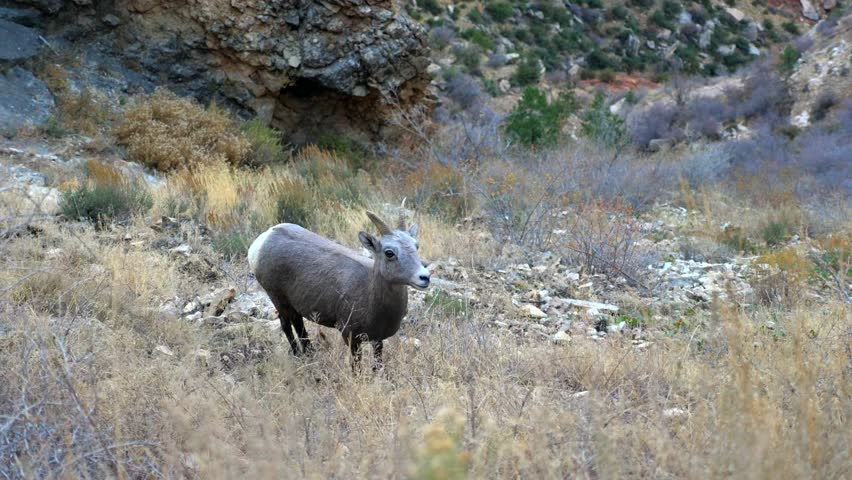 Young Bighorn sheep on the Bright Angel trail