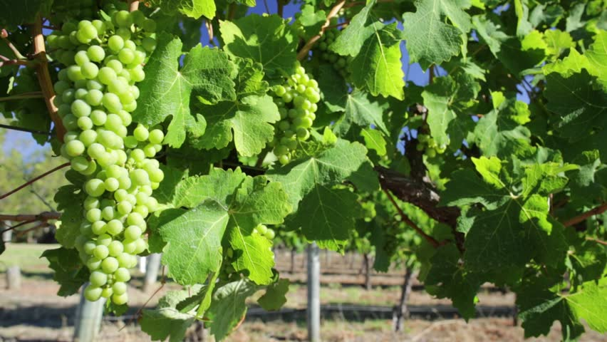 Details of white grapes on vine in Margaret River known as wine region in Western Australia. Margaret River is known for its many wineries. | Shutterstock HD Video #1007195425