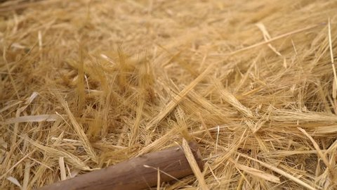 Wheat threshing in South America, Peru