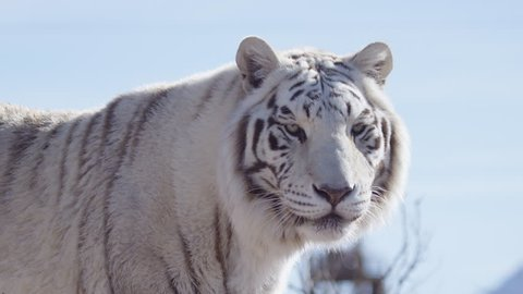 White tiger growl in slow motion against blue sky