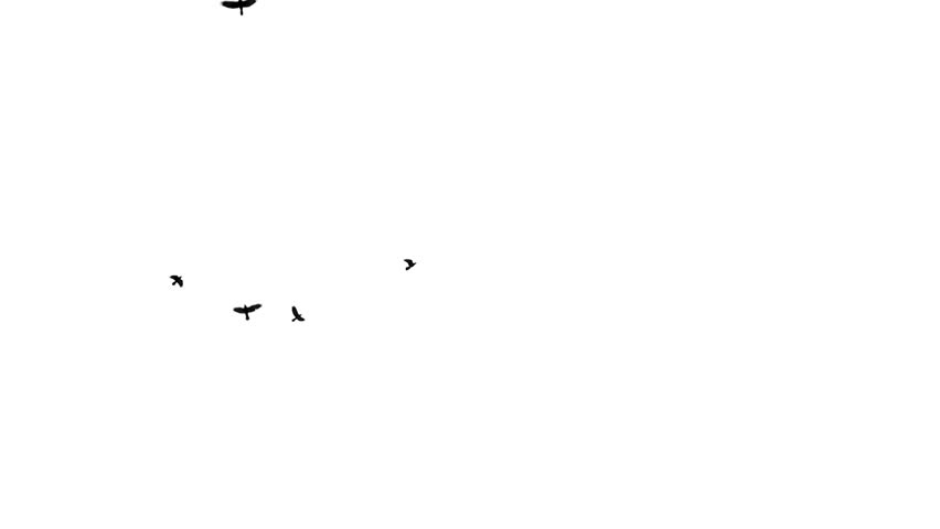 Flying black birds on a white background. (loop ready video) Video footage of flying birds on a white background.