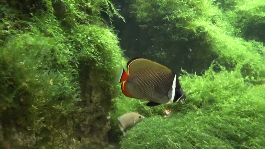 Surgeon fish underwater footage. Acanthuridae is the family of surgeonfishes, tangs, and unicornfishes