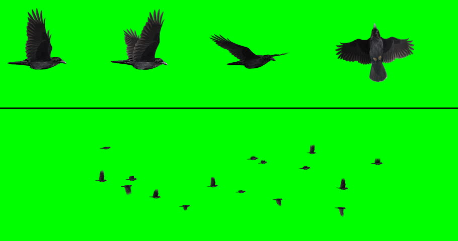 Flock of 16 crows or ravens on a green background for compositing onto your footage. Includes four individual birds at different angles, for creating your own flocks.