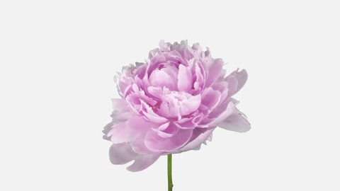 Time-lapse of opening and dying pink Peony flower 2c1w in PNG+ format with ALPHA transparency channel isolated on white background