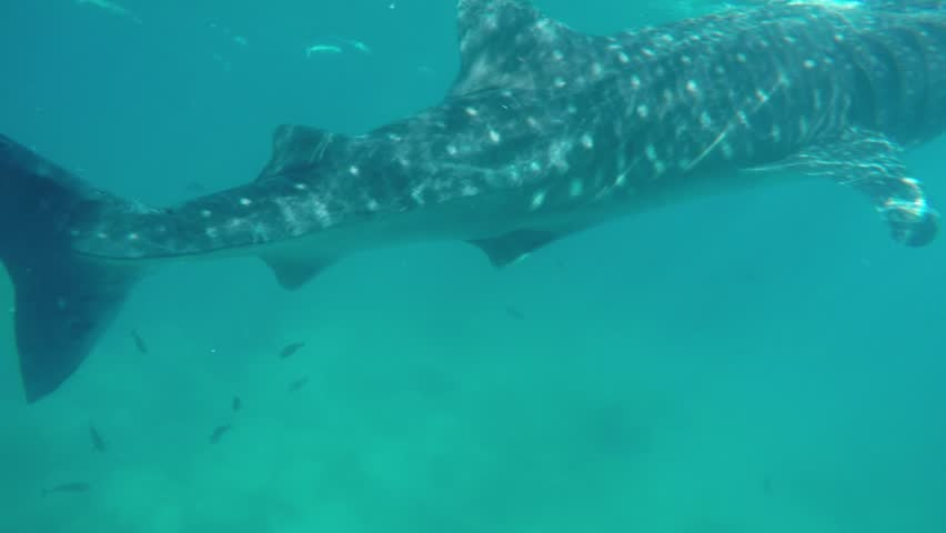 POV of Caucasian man diving into the ocean with whale shark on a summer day | Shutterstock HD Video #1007650540