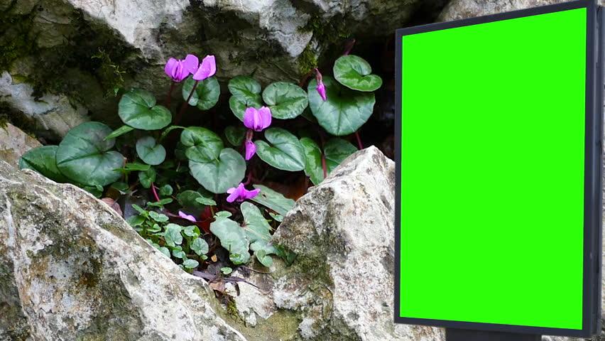 Billboard green screen near the violets flowers   Shutterstock HD Video #1007704033