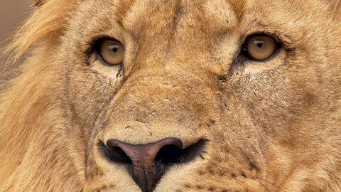Southwest African lion gaze