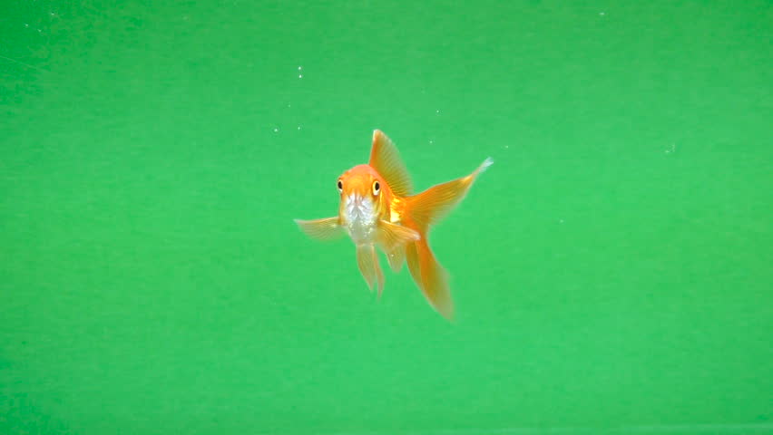 Gold fish fun swimming on green screen, fast isolated
