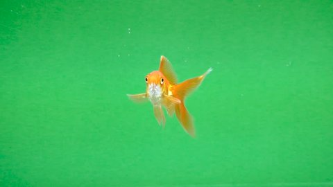 Gold fish fun swimming on green screen, fast isolated