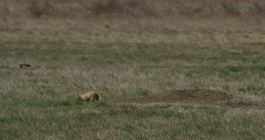 Prairie dog sits up and looks around on grass near its burrow on a warm windy day in Montana #1007758585