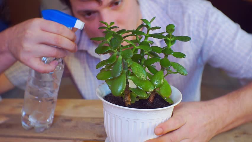 man owner gently pours the potted plant from the atomizer