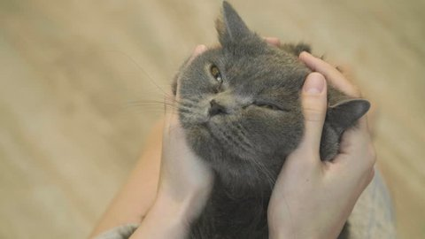 Close-up of cat's happy face.  Close-up of cat's stroking  face. Woman stroking a cat. Slow motion. British cat.