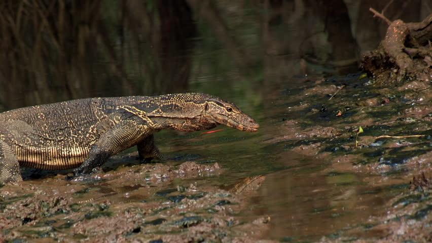 Water Monitor Lizard Walking and Crossing Muddy Pond at Bhitarkanika, India.