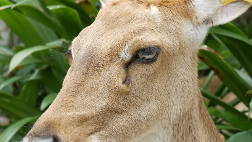 Beautiful deer sitting in green bush close up view. Hand deer in the zoo khao kheo, Pattaya, Thailand #1007847385