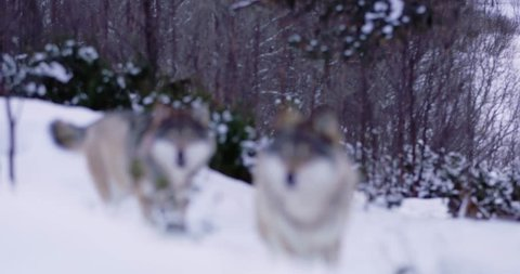 Wolves in wolf pack approacing in beautiful winter forest