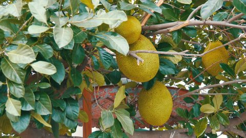 The huge fruits of the breadfruit grow right on the street of Thailand. Exotic fruits on the tree