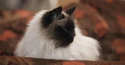 Peaceful ragdoll cat resting on couch in close up